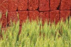 Φυτεία τομέων σίτου μπροστά από τα κόκκινα τούβλα Στοκ Εικόνες