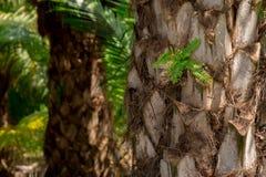 Φυτεία του δέντρου φοινικέλαιου σε ένα αγρόκτημα στοκ φωτογραφία