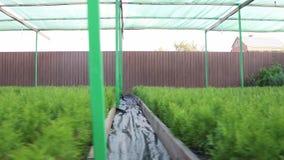 Φυτεία του κωνοφόρου διακοσμητικού thuja μετά από να ποτίσει κάτω από μια τεχνητή σκιά από awning απόθεμα βίντεο