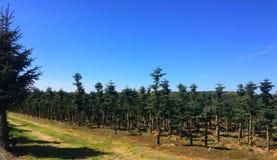 Φυτεία του μοναδικού τύπου αειθαλών δέντρων στην Πολωνία στοκ φωτογραφίες με δικαίωμα ελεύθερης χρήσης