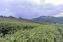 Φυτεία τσαγιού και πολλές σπίτι στο βουνό με τη θαμπάδα πηγών με το sel Στοκ Φωτογραφίες