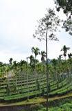Φυτεία τσαγιού με Areca το καρύδι και τα ασημένια δρύινα δέντρα, Κεράλα, Ινδία Στοκ Φωτογραφίες
