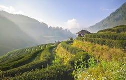 Φυτεία τσαγιού σε ANG Khang, Ταϊλάνδη Doi Στοκ εικόνα με δικαίωμα ελεύθερης χρήσης