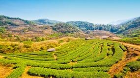 Φυτεία τσαγιού σε ANG Khang, Chiang Mai, Ταϊλάνδη Doi Στοκ Εικόνες
