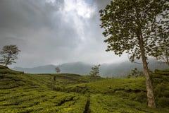 Φυτεία τσαγιού σε Bandung, Ινδονησία σε ένα νεφελώδες απόγευμα Στοκ Φωτογραφία