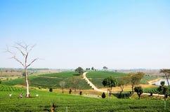 Φυτεία τσαγιού σε Doi Mae Salong (βουνό) σε Chiang Rai, Ταϊλάνδη Στοκ Εικόνες
