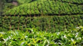Φυτεία τσαγιού σε Thekkady στο Κεράλα στοκ φωτογραφίες με δικαίωμα ελεύθερης χρήσης