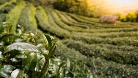 Φυτεία τσαγιού στην Ασία, τομείς τσαγιού με το φως πρωινού Εργασίες γεωργίας στην Ασία στοκ φωτογραφίες