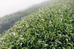 Φυτεία τσαγιού στην ομίχλη στην κοιλάδα Στοκ Φωτογραφία