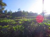 Φυτεία τσαγιού στη Σρι Λάνκα το πρωί στοκ εικόνες