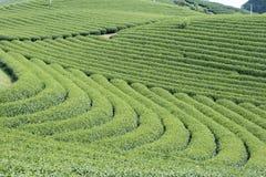 Φυτεία τσαγιού στο Βιετνάμ Στοκ Φωτογραφία