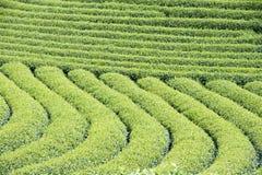 Φυτεία τσαγιού στο Βιετνάμ Στοκ φωτογραφίες με δικαίωμα ελεύθερης χρήσης