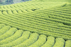 Φυτεία τσαγιού στο Βιετνάμ Στοκ Φωτογραφίες