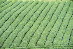Φυτεία τσαγιού στο Βιετνάμ Στοκ Εικόνες