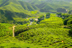 Φυτεία τσαγιού στο βουνό - Χάιλαντς του Cameron Στοκ Φωτογραφία