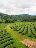 Φυτεία τσαγιού στο βόρειο της Ταϊλάνδης Στοκ φωτογραφία με δικαίωμα ελεύθερης χρήσης
