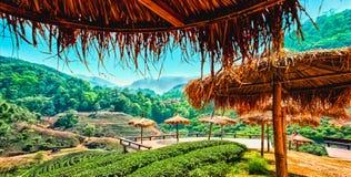 Φυτεία τσαγιού στο ANG Khang, Chiang Mai, Ταϊλάνδη Doi Στοκ εικόνα με δικαίωμα ελεύθερης χρήσης