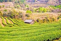 Φυτεία τσαγιού στο ANG Khang, Chiang Mai, Ταϊλάνδη Doi Στοκ Εικόνες