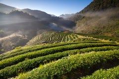 Φυτεία τσαγιού στο ANG Khang, Chiang Mai, Ταϊλάνδη Doi Στοκ Εικόνα