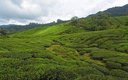 Φυτεία τσαγιού στο Cameron Highlands, Μαλαισία στοκ εικόνα με δικαίωμα ελεύθερης χρήσης