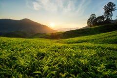 Φυτεία τσαγιού στο Cameron Highlands, Μαλαισία στοκ εικόνες με δικαίωμα ελεύθερης χρήσης