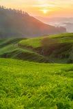 Φυτεία τσαγιού στο Cameron Highlands, Μαλαισία στοκ εικόνα