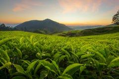 Φυτεία τσαγιού στο Cameron Highlands, Μαλαισία στοκ φωτογραφία με δικαίωμα ελεύθερης χρήσης