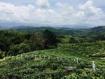 Φυτεία τσαγιού στοκ εικόνα