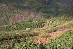 Φυτεία τσαγιού στοκ εικόνα με δικαίωμα ελεύθερης χρήσης