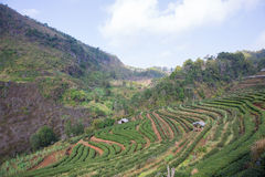 Φυτεία τσαγιού στοκ φωτογραφία με δικαίωμα ελεύθερης χρήσης