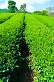 Φυτεία τσαγιού στοκ φωτογραφίες με δικαίωμα ελεύθερης χρήσης