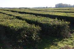 Φυτεία τσαγιού στοκ φωτογραφία