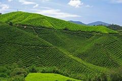 Φυτεία τσαγιού Boh, Μαλαισία Στοκ Εικόνα