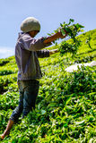 Φυτεία τσαγιού Boh στην ορεινή περιοχή του Cameron, Μαλαισία Στοκ Εικόνες