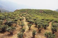 Φυτεία τσαγιού Darjeeling Στοκ φωτογραφία με δικαίωμα ελεύθερης χρήσης
