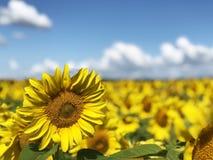 Φυτεία των ηλίανθων ενάντια στο μπλε ουρανό στοκ εικόνα