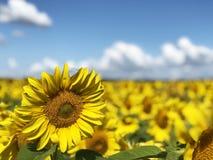 Φυτεία των ηλίανθων ενάντια στο μπλε ουρανό στοκ εικόνες