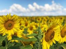 Φυτεία των ηλίανθων ενάντια στο μπλε ουρανό στοκ εικόνες με δικαίωμα ελεύθερης χρήσης