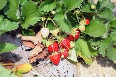 Φυτεία φραουλών Στοκ φωτογραφία με δικαίωμα ελεύθερης χρήσης