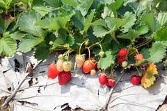 Φυτεία φραουλών Στοκ Εικόνες
