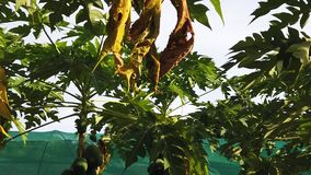 Φυτεία φρούτων καρύδων απόθεμα βίντεο