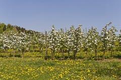 Φυτεία Appletree την άνοιξη Στοκ φωτογραφίες με δικαίωμα ελεύθερης χρήσης