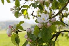 Φυτεία Appletree την άνοιξη Στοκ Φωτογραφία