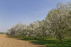 Φυτεία Appletree την άνοιξη Στοκ φωτογραφία με δικαίωμα ελεύθερης χρήσης