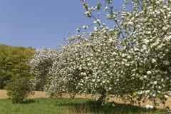 Φυτεία Appletree την άνοιξη Στοκ Εικόνα