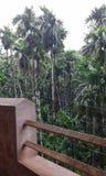 Φυτεία Arakanut Στοκ Εικόνες