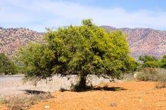 Φυτεία argan των δέντρων, Μαρόκο Στοκ Φωτογραφίες