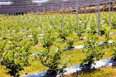 φυτείες βακκινίων Στοκ φωτογραφία με δικαίωμα ελεύθερης χρήσης