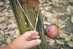 Φυτείες λαστιχένιων δέντρων στο Βορρά Sumatra, Ινδονησία Στοκ Εικόνες
