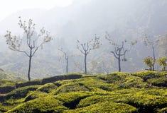 Φυτείες τσαγιού στο Κεράλα, νότια Ινδία Στοκ εικόνες με δικαίωμα ελεύθερης χρήσης